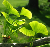 ginkgo-leaves